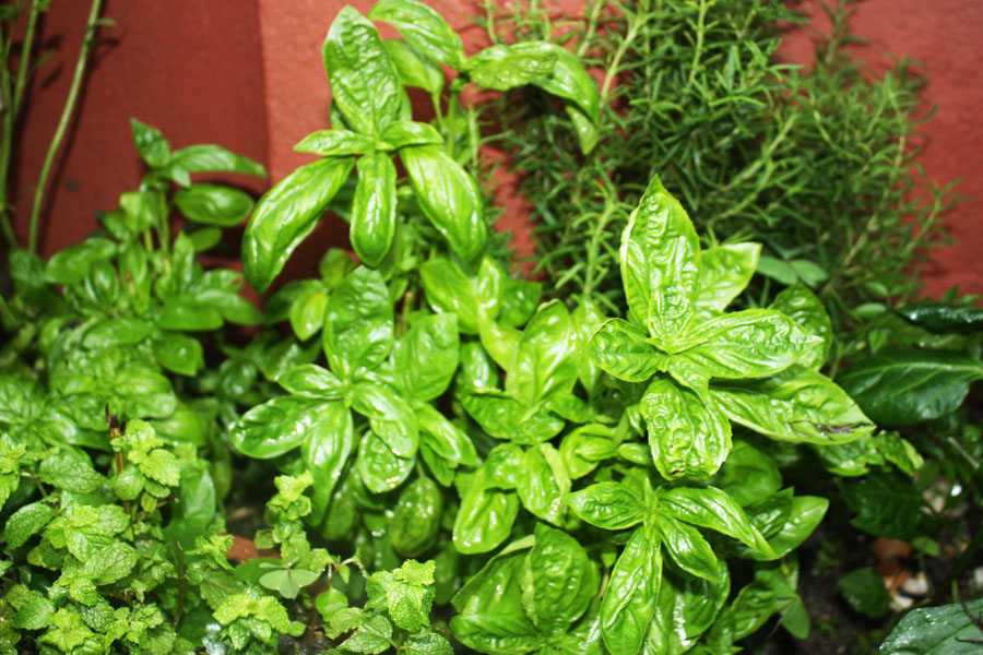 Fresh Basil in my herb garden